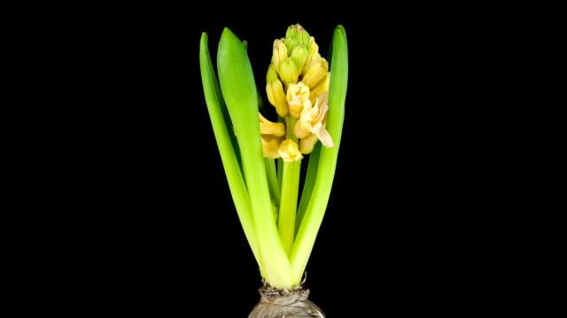 Hyacinth; TIME LAPSE