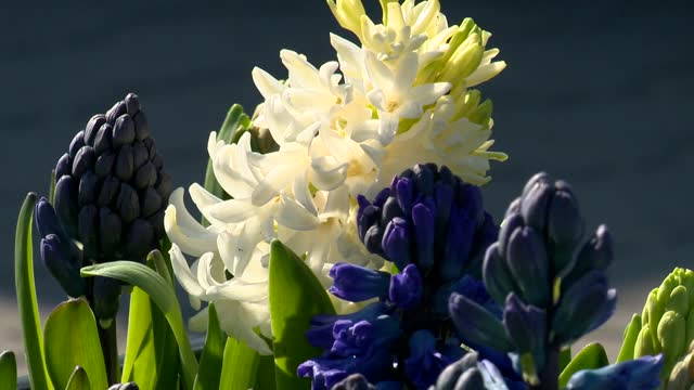 hyacinth - hyacinth stock videos & royalty-free footage