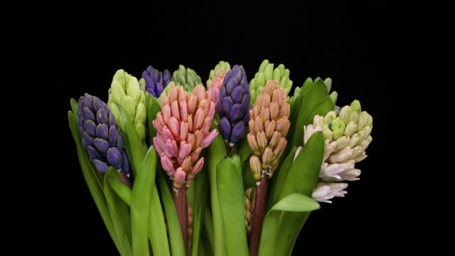 hyacinths blooming time lapse - hyacinth stock videos & royalty-free footage