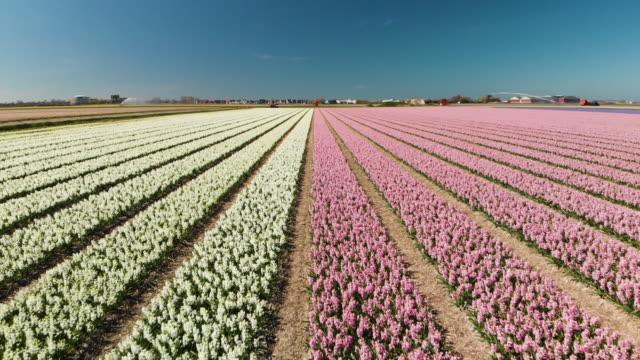 オランダのヒヤシンス花壇 - オランダ文化点の映像素材/bロール
