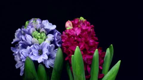 hyacinthus orientalis blooming 4k - single flower stock videos & royalty-free footage