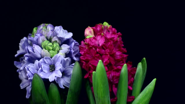 hyacinthus orientalis blooming 4k - single flower stock videos & royalty-free footage