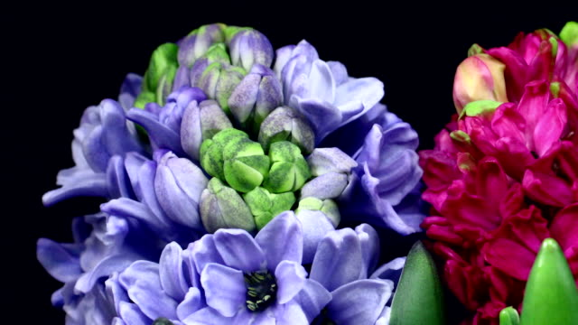 hyacinthus orientalis blooming hd - hyacinth stock videos & royalty-free footage