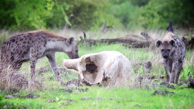 hyaenas - hundeartige stock-videos und b-roll-filmmaterial