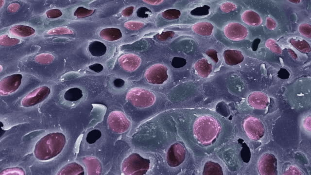 """hyaline cartilage, sem"" - microbiology stock-videos und b-roll-filmmaterial"