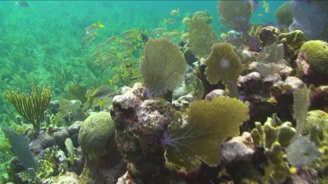 """hybrid yellowtail hamlet, tan hamlet, spanish grunt swimming amongst vegetation at honduras bay islands"" - reef stock videos & royalty-free footage"