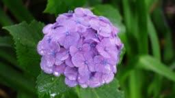 Hydrangea flower in Japan, Rainy day