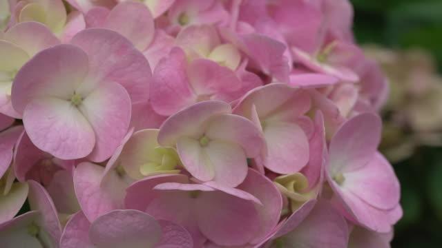 vídeos y material grabado en eventos de stock de hortensia flor - hortensia