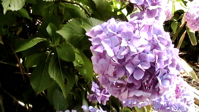 hydrangea in japan - anamorphic stock videos and b-roll footage