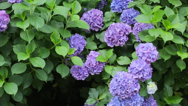 vídeos y material grabado en eventos de stock de ms hydrangea macrophylla, flower of rainy season in east asia / kita, tokyo, japan - hortensia