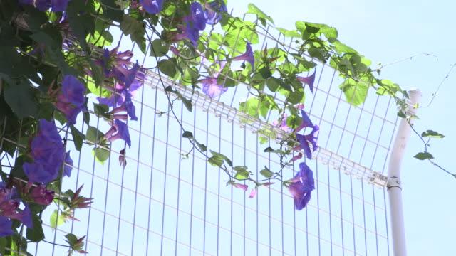 hydrangea - morning glory stock videos & royalty-free footage