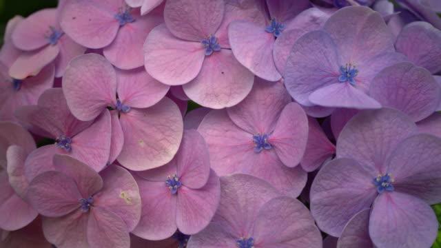 vídeos y material grabado en eventos de stock de hortensia - hortensia