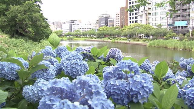 vídeos y material grabado en eventos de stock de hydrangea - hortensia