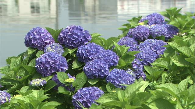 vídeos y material grabado en eventos de stock de hydrangeas grow on a riverbank. - hortensia