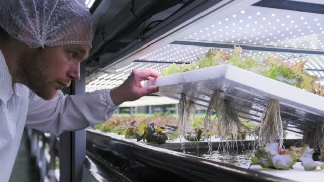 レタスの根構造を研究する水文養殖専門家 - グリーンハウス点の映像素材/bロール