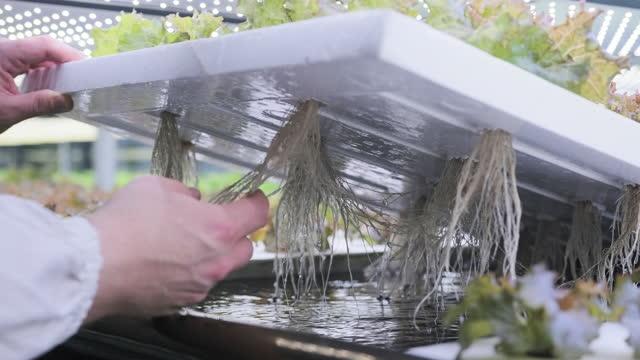 レタスの根構造を研究する水文養殖専門家 - 水栽培点の映像素材/bロール