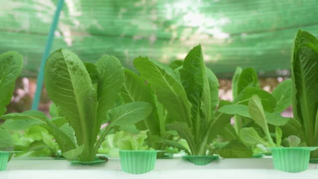 水耕レタスの vegetable_4K