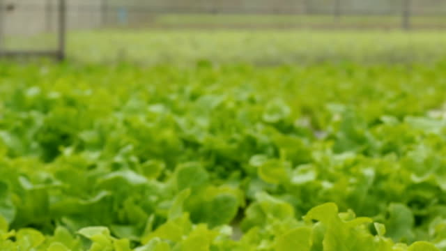 Hydroponic 野菜、ドリー撮影