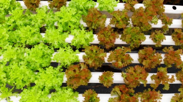 hydroponics green and red salad aerial top view. - hydroponics stock videos & royalty-free footage