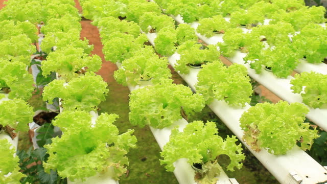 Hydroponics vegetable.