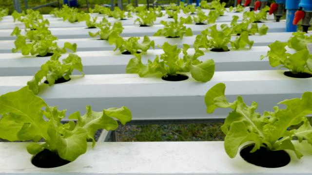 hydroponics vegetables - hydroponics stock videos & royalty-free footage