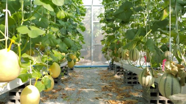 vídeos de stock, filmes e b-roll de hydroponics, vegetais colhidos frescos orgânicos, fazendeiros que olham a exploração agrícola fresca do melão. fazendeiros que trabalham com o jardim vegetal orgânico do melão hidrofónico. melões que crescem em uma estufa suportada por redes do me - melão musk