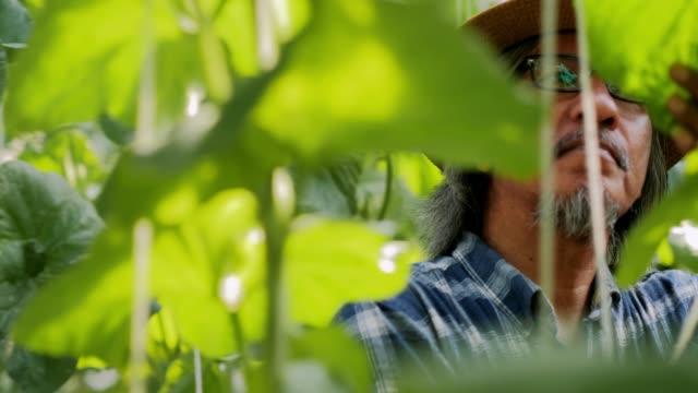 hydroponik, bio-frisches geerntetes gemüse, bauern sehen frische melonenfarm. bauern, die mit biologischem hydroponischem schmelzpark arbeiten. melonen, die in einem gewächshaus wachsen, das von streichmelonnetzen getragen wird, moderne hydroponische lan - agrarbetrieb stock-videos und b-roll-filmmaterial