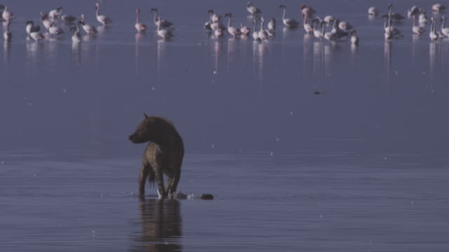 hyena bites crippled flamingo in shallows but then runs off - brown stock videos & royalty-free footage