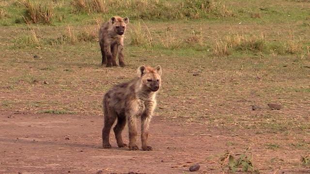 hyena cubs, one standing, one walking forward, kenya - 肉食哺乳動物の子点の映像素材/bロール