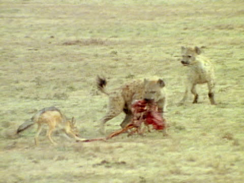 hyena dragging carcass from jackal, second hyena trying to take carcass. jackal ending up w/ small section of meat. - 死んでいる動物点の映像素材/bロール