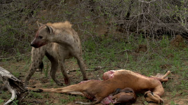 hyena feeds on impala and foetus, kruger national park, south africa - antilope stock-videos und b-roll-filmmaterial