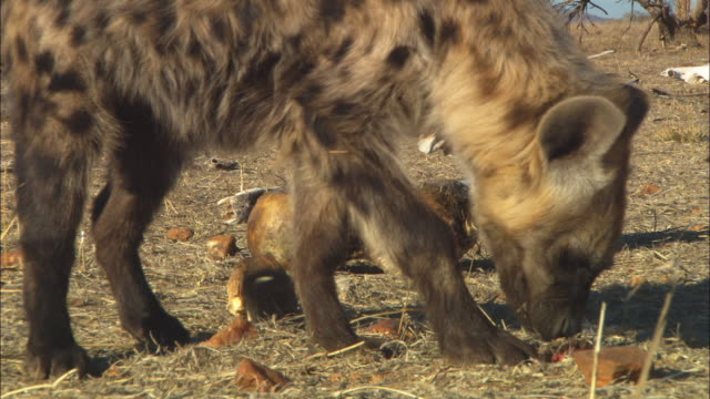 vidéos et rushes de cu hyena finds morsel of meat in grass close to camera - se nourrir des restes