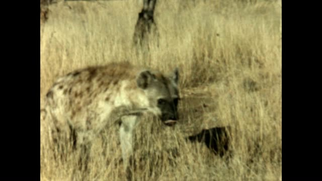a hyena from a home movie taken in kruger national park in the 1960's - carnivora stock videos and b-roll footage