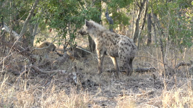 hyena investigates female leopard then walks away after being snarled at, kruger national park, south africa - 歯をむく点の映像素材/bロール