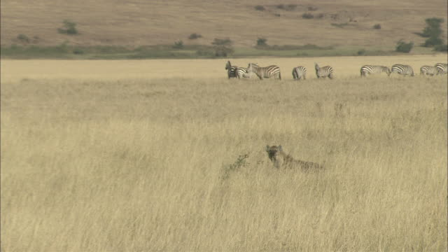 A hyena lurks near a herd of zebras on a savanna.