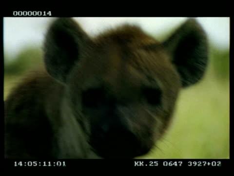 vídeos y material grabado en eventos de stock de cu hyena portrait, looks around before lying down and relaxing - hurgar en la basura