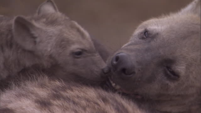 A hyena pup licks and play bites his mother. Available in HD.