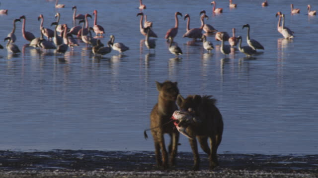 ms pan hyena runs from shoreline with flamingo in its jaws followed by second hyena - brown stock videos & royalty-free footage