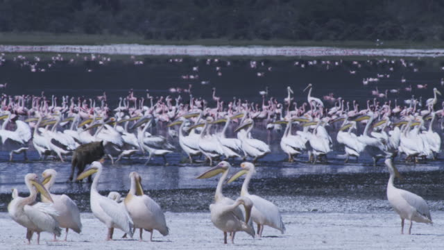 Hyena runs through flock of Great White Pelicans PAN with them as they take off