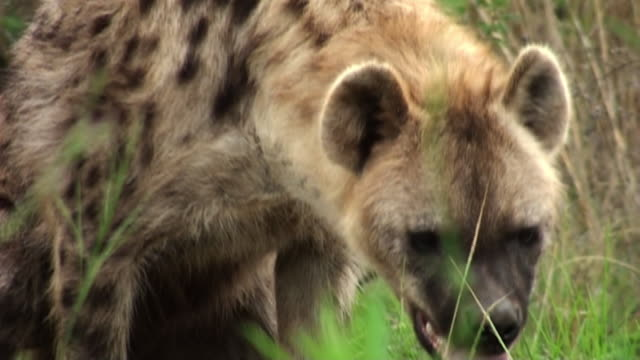 a hyena sits in the grass and yawns. - yawning stock videos & royalty-free footage