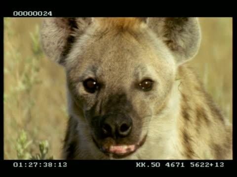 vídeos y material grabado en eventos de stock de cu hyena sitting, looking to camera, stands and walks - hurgar en la basura