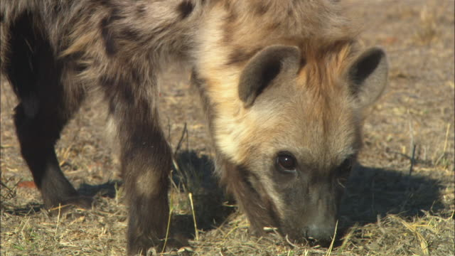 cu hyena sniffing ground and picking up food very close to camera - smelling stock videos & royalty-free footage