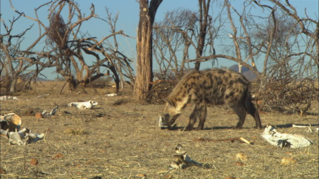 ws hyena sniffs around area with dead trees and skulls  - scavenging stock videos & royalty-free footage