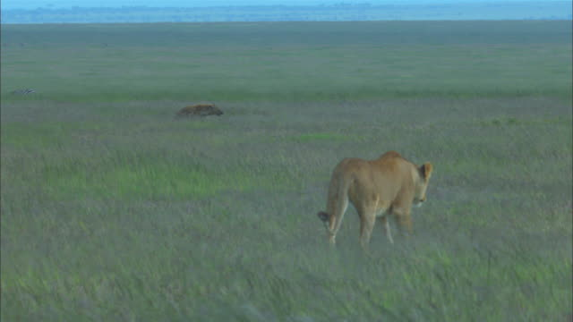 MS Hyena ZO to reveal lions in foreground