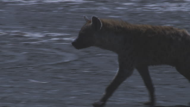 cu hyena trots in profile on lake shore  - brown stock videos & royalty-free footage