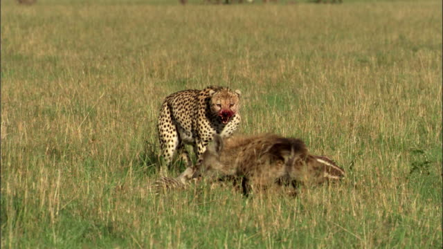 Hyena versus Cheetah - power struggle
