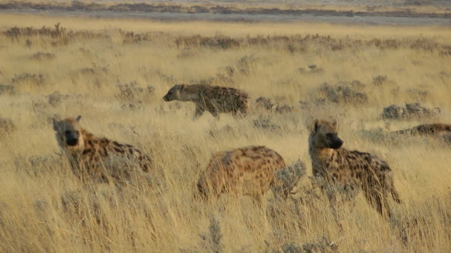 vídeos y material grabado en eventos de stock de hiena - manada