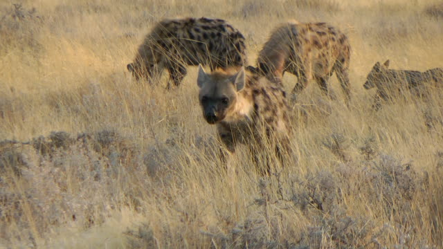 hyena - hunting stock videos & royalty-free footage