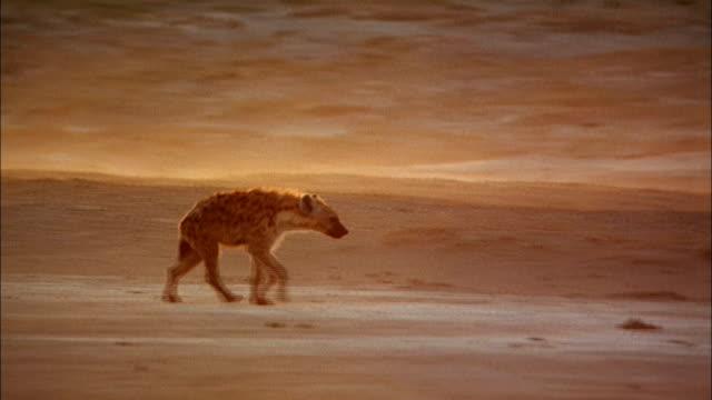 a hyena walks across a dusty savanna. - survival stock videos & royalty-free footage