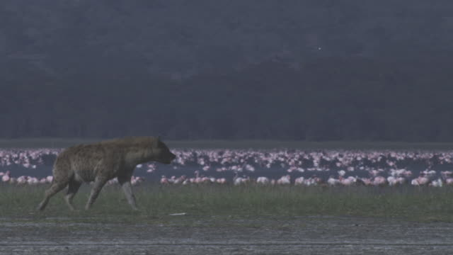 pan hyena walks across grass on shoreline with flamingo flock in background  - brown stock videos & royalty-free footage